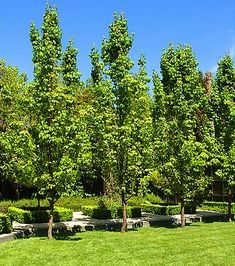 Capital Pears (Pyrus calleryana) are the narrowest growing of all the ornamental pear trees. Capital pear trees look great used to frame entrance ways, multi planted to create a mini pear tree forest or used as a tall narrow screen that requires little or no maintenance.