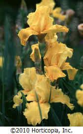 Iris germanica 'Gold Galore'. Picture  doesn't do it justice.