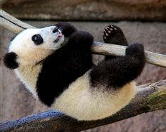 Xiao Liwu at the San Diego Zoo, California, on March 18, 2013. © Penny Hyde.