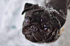 Pug Black Jack