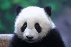 The Toronto Zoo excitedly announced Wednesday that its female giant panda Er Shun, appears to be pregnant with twins. Er Shun has a long way to go & pandas remain an endangered species, partially due to the difficulty in breeding. But they're not alone as slow reproducers in the animal kingdom.