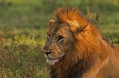 Robin Pope Safaris -- Male Lion sighting