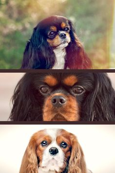 A Cavalier's natural animation and cheerfulness stand apart in the program ring. He can be a constant and prepared competitor in obedience and rally, and masters agility and flyball. His user-friendly nature also makes him an outstanding therapy canine. He will sit silently with older people or young kids and then develop into a rowdy friend with active children or grownups. Dog Owner Questions Answered In This Post Once you own your dog, you do have a lot of work on both hands. From brush Cavalier King Charles Dog, King Charles Spaniel, England And Scotland, Dog Owners, Activities For Kids, Animation, Pets, Animals, Animales