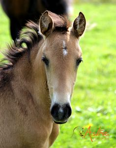 Luana d'Astra Pouliche PSL Photos, Horses, Animals, Animaux, Animales, Horse, Animal, Dieren