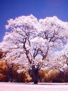 comprehensive information on Jacaranda tree roots - Bing images Infrared Photography, Tree Photography, Landscape Photography, Digital Photography, Street Trees, Mother Plant, Tree Roots, Shade Trees, Colorful Trees