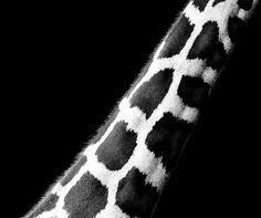 Giraffe neck Vienna Zoo Schönbrunn   #giraffe #blackandwhite #neck #animals #schönbrunn