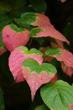 Actinidia (variegated kiwi-vine) gardening, landscaping, plantings, color
