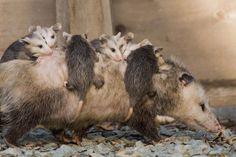 Opossum mom on the move. Photo by James Meaders — National Geographic Your Shot