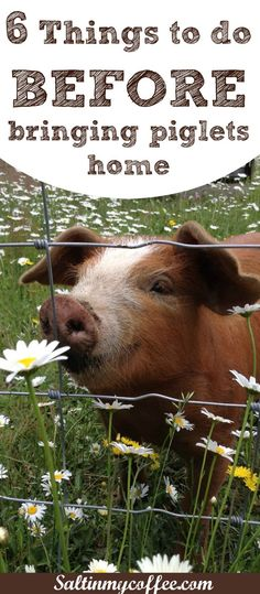 things to do before bringing home piglets