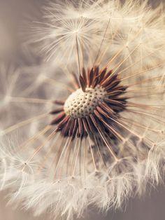 Pusteblumenzauber White Flowers, Beautiful Flowers, Photowall Ideas, Dandelion Clock, Taraxacum, Fotografia Macro, Pottery Marks, Pretty Wallpapers, Seed Pods