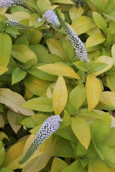 Loosestrife for sale buy Lysimachia clethroides 'Heronswood Gold'
