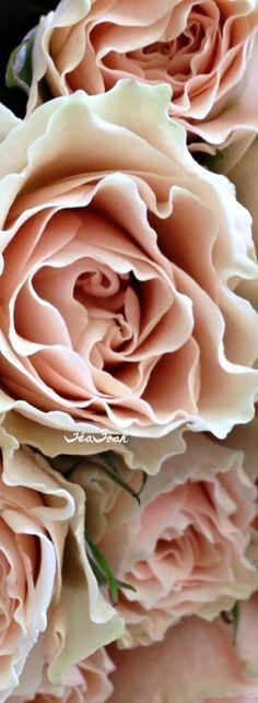 ❇Téa Tosh❇ BALLET PINK ROSES