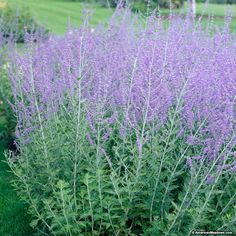 Russian Sage is a vigorous, hardy, heat loving, drought tolerant blue-flowered perennial that makes a big show in the garden. A great companion plant to ornamental grasses. (Perovskia atriplicifolia)