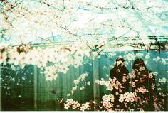 lets watch cherry blossoms fall.