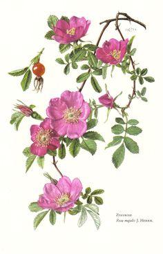 Rosa majalis