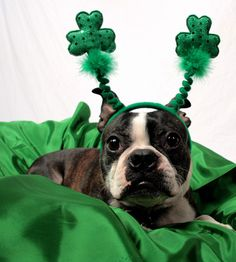 Patrick's Day Limericks as Written by Dogs Boston Terriers, Boston Terrier Love, Terrier Dogs, Giant Dog Breeds, Giant Dogs, Fete Saint Patrick, Funny Dogs, Cute Dogs, St Patrick's Day Photos