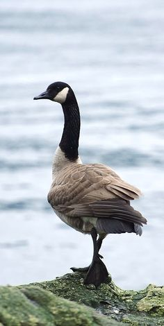 fe0532e9403 52 best Canada geese images in 2013 | Canada goose, Goose tattoo ...