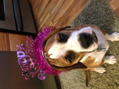 Bella-the-Beabull birthday girl