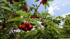 JETZT IST GUT KIRSCHEN ESSEN! 7 Fakten zum roten Power-Obst