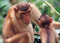 List Different Types of Monkeys Facts and Information Monkey See Monkey Do, Ape Monkey, Monkey Pictures, Weird Pictures, Amazing Pictures, Different Types Of Monkeys, Funny Animals, Cute Animals, Magnificent Beasts