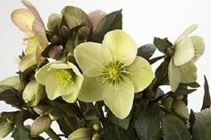 'Emma' Helleborus Ericsmithii Plant in a 17 cm Pot * You can get additional details at the image link. #Gardening