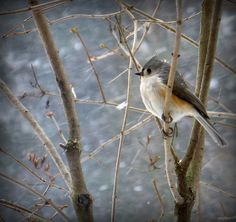 Winter - Tufted Titmouse waiting out a snow storm    These are the sweetest little guys...we enjoy watching them at our feeders, which hang from the back deck in front of our living room window, which sits high up in the trees.  It is very pretty and an interesting window on the world of wildlife in Northern Michigan.  njoy