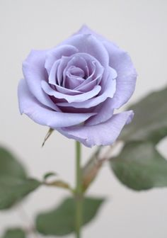 Applause rose (blue/light purple roses)