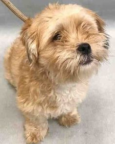 SUPER URGENT  08/23/17** TO BE DESTROYED 08/22/17*** STARFIRE.  A1121173.**rescue only**  I am a female tan shih tzu mix. I am about 2 YEARS OWNER SUR on 08/16/2017 reason stated was BITEPEOPLE.