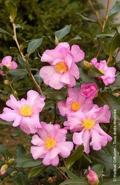 floraison rose clair cette petite bruyère a une floraison rose