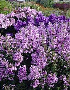 Bilde av SYLINDERFLOKS 'NATASHA' Pink Perennials, Planters, Gardens, Facebook, Sun, Photo Illustration, Plant, Window Boxes, Flower Pots
