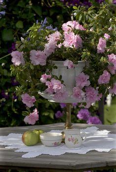 Grandmothers cream jug under the old azalea