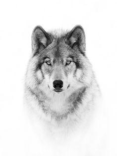 Retrato do lobo em B & W por JimCumming