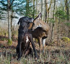 http://www.boredpanda.com/unusual-animal-friendships-interspecies/Kate the Great Dane and Pippin the Deer