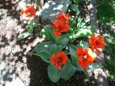 I recommend  this tulip called Casa Grande