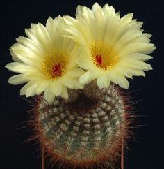 notocactus concinnus