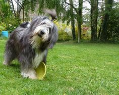 Bearded Collie Club de France | LE BEARDED COLLIE