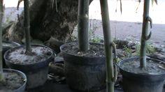 Bonsai Bambu Petuk