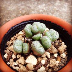 Conophytum pictum