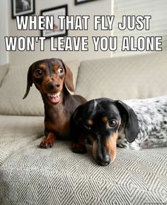 mad dachshund with content one. Funny Animal Memes, Funny Animal Pictures, Funny Dogs, Funny Animals, Cute Animals, Funny Dachshund Pictures, Funny Memes, Dachshund Puppies, Dachshund Love