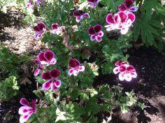 Pelargonium 'Angels Perfume' | 'Angels Perfume' Scented Geranium