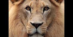 El león africano se distingue fácilmente por su melena. Es el único felino que vive en grupos o manadas.