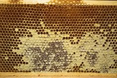 partially capped honey cells