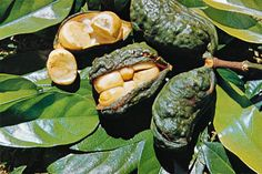 The kola nut is the fruit of the kola trees, which  are native to the tropical rain forests of Africa.The kola nut has a bitter flavor and contains caffeine.