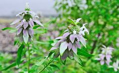 Bee Balm flower elixir soothes the intense stress that occurs as a result of traumatic experiences.