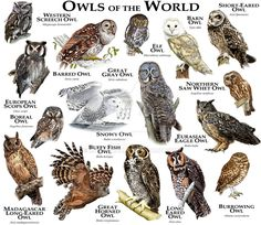 Owls of the World  - Owls are birds from the order Strigiformes, which includes about 200 species of mostly solitary and nocturnal birds of prey typified by an upright stance, a large, broad head, binocular vision, binaural hearing, sharp talons, and feathers adapted for silent flight. Exceptions include the diurnal northern hawk-owl and the gregarious burrowing owl.