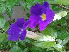Tumbérgia-arbustiva