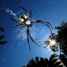 A Black & Yellow Writing Garden  Spider, (Argiope aurantia)