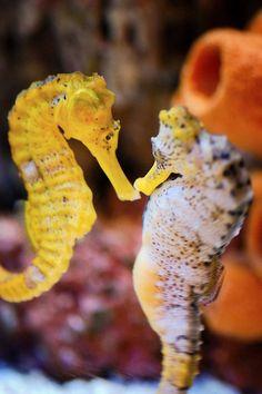 Kissing Sea Horses