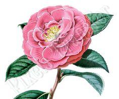 Digital Downloads pink flower of CAMELLIA by PixelsTransfer