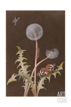 Pd.380-1973 Dandelion (Taraxacum Officinale) with Insects Giclee Print by Margaretha Barbara Dietzsch at Art.com